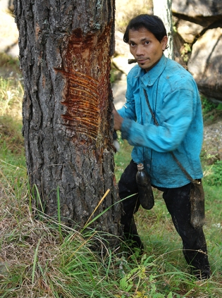 Pine tree resin collector, Almora, Kumaon, Uttarakhand, India 2013